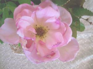 PinkOpenRose